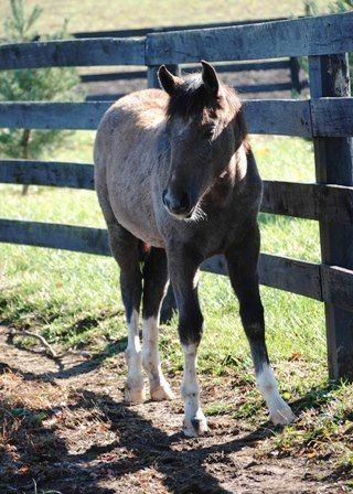 Spring, grade yearling filly for adoption at Kentucky Equine Humane Center