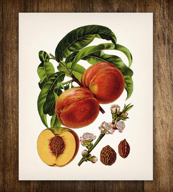 Peaches Vintage Botanical Print   Printed Vintage