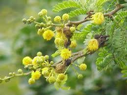 Acacia es un género de arbustos y árboles pertenecientes a la familia Fabaceae, aunque también se conoce con el nombre de «acacia» a muchos