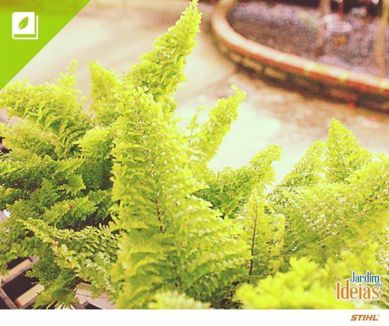 Quem aí tem uma samambaia em casa? Existem várias espécies dessa planta, uma delas é a Samambaia-havaiana que alcança de 30 a 60 cm de altura, gosta de ficar a meia-sombra e exige muita água.