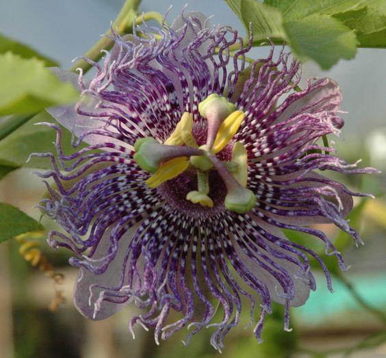 Passiflora 'Fata Confetto'