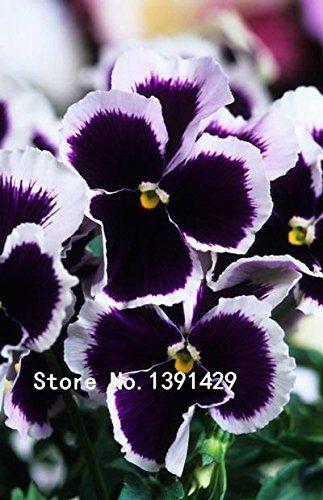 35 PANSY INSPIRE BLUE VELVET FLOWER SEEDS NEW LONG LASTING ANNUAL