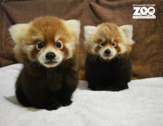 The Rosamond Gifford Zoo, in Syracuse, New York, is pleased to announce the birth of two Red Pandas. The male cubs, named Pumori and Rohan, were born on June 25. Check out ZooBorns to learn more and see more! http://www.zooborns.com/zooborns/2015/09/red-panda-duo-debuts-at-rosamond-gifford-zoo.html: