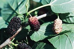 Musser Forests, Inc. - Mulberry, Red Morus rubra
