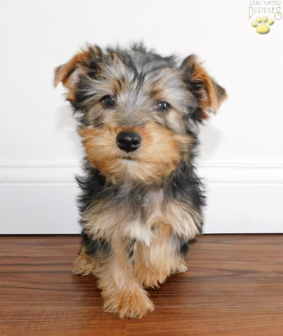 Tiny Akc Toy Yorkshire Terrier Puppy For Sale In Dayton Oh