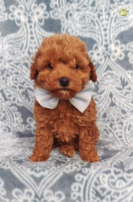 Reese F1b Cockapoo Puppy For Sale In Nottingham Pa