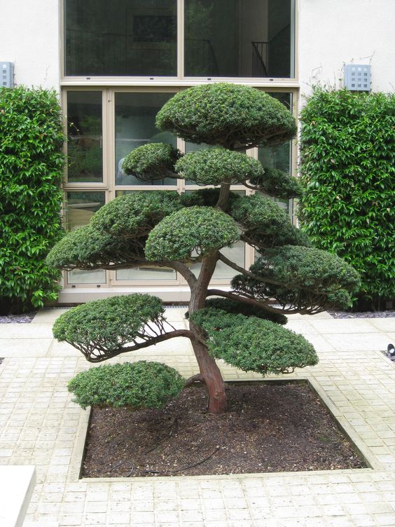 Arbres nuage japonais bonsai geant juniperus virg for Bonsai de jardin