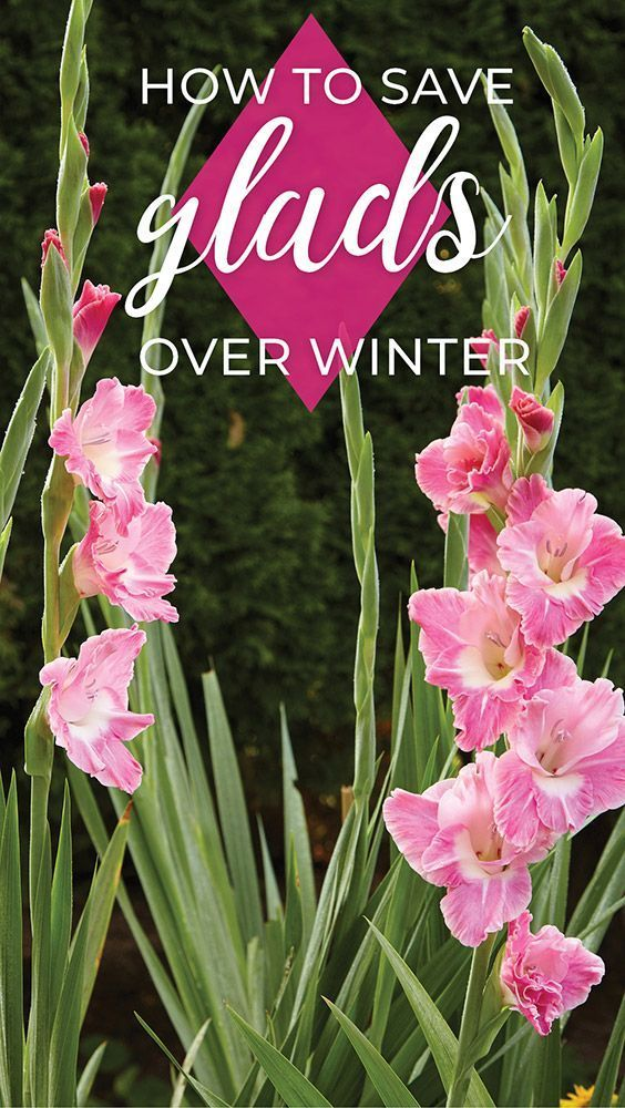 How To Save Gladiolus For Next Season Gladiolus Flower Garden Bulbs Flowers Perennials