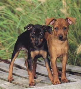 miniature pinscher for sale syracuse ny - photo#14