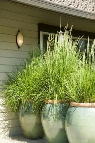 Lemon grass is a natural mosquito repellent and grows quite tall. Plant it in large planters next to a patio to create privacy and repel mosquitoes.