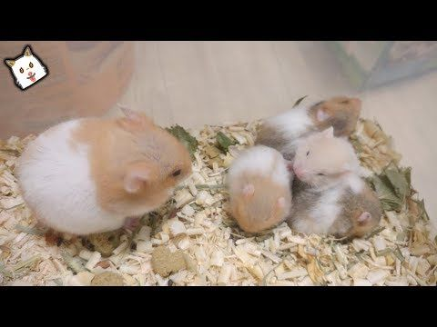 Syrian Hamsters Babies Grow Up In 3 Mins Youtube Syrian