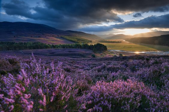 Picture of a large expanse of purple heather with the sun shining through clouds in the background