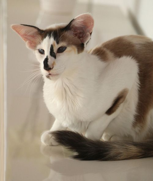 Seal Tortie Point Bicolour Oriental Shorthair Cats Balinese Cat Beautiful Cats
