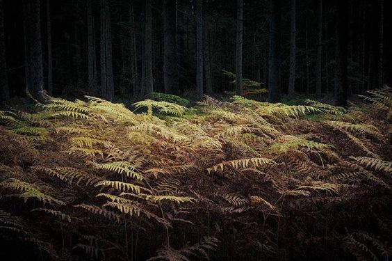 Autumnal ferns in a clearing - http://www.pbase.com/mikaellarsen/landscapes_of_denmark
