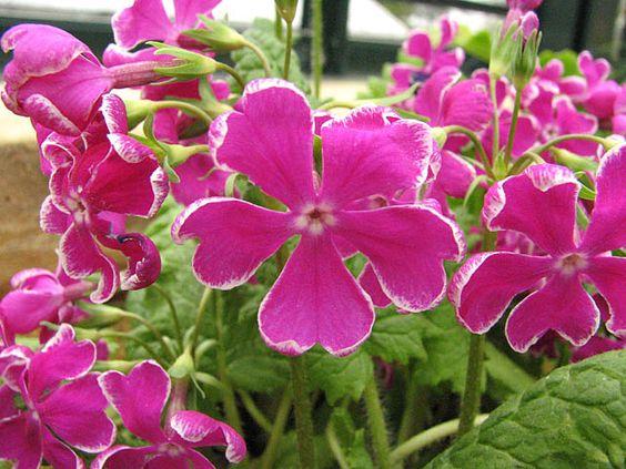 Image result for siebold primrose