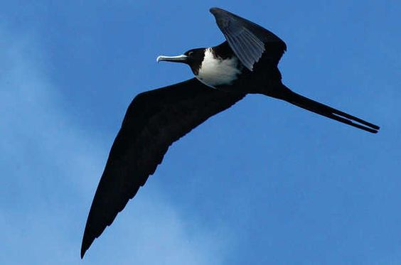 Female frigatebird (Fregata magnificens), a sea bird with a very large wingspan. The frigatebird is known for its speed and aggressiveness. These birds gave their name to the elegant new warships, that combined great speed with extraordinary manoeuvrability.