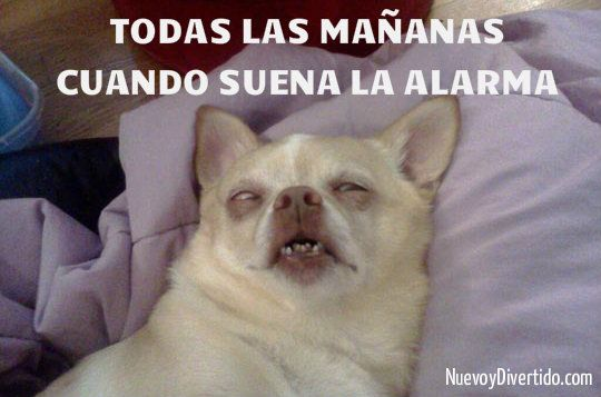 Memes Chistosos De Perros 20 Chihuahua Divertido Memes Chistosisimos Memes De Dormir