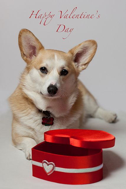 Happy Valentines Day - from adorable Pembroke Welsh Corgi, Taffy © trustypics, via Flickr: