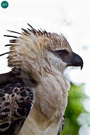 Đại bàng mào Trung và Nam Mỹ | Crested eagle (Morphnus guianensis)(Accipitridae) IUCN Red List of Threatened Species 3.1 : Near Threatened (NT) | (Loài sắp bị đe dọa)