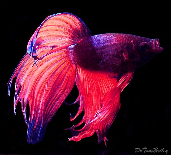 Gallery For > Pink Betta Fish: