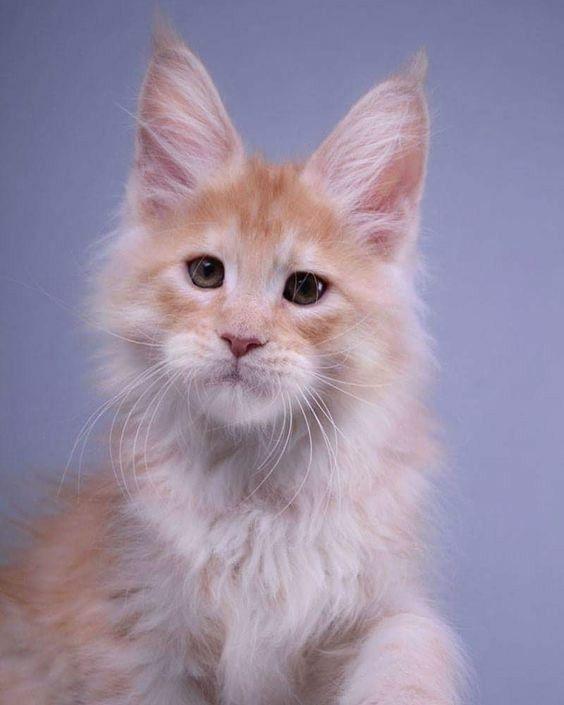 Самые популярные породы кошек: какую выбрать? » LookWoman.ru ... | 705x564