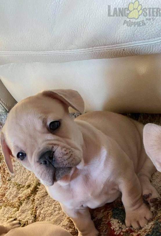 Pin By Joshua Cook On Puppies In 2020 Bulldog Puppies Bulldog Puppies For Sale Puppies