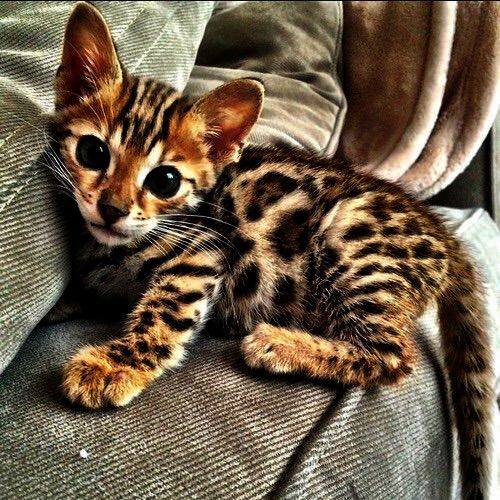 Cats And Kittens For Sale Edinburgh Cats And Kittens Playing Kittens Cutest Cute Baby Animals Bengal Kitten