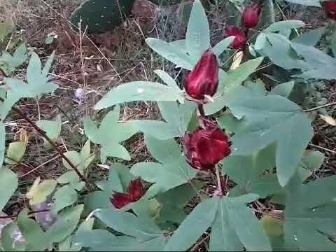 Cosecha Y Secado De Flor De Jamaica Youtube Flor De Jamaica Planta De Jamaica Proyectos De Jardín