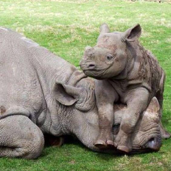 Baby rhinoceros atop mother's head