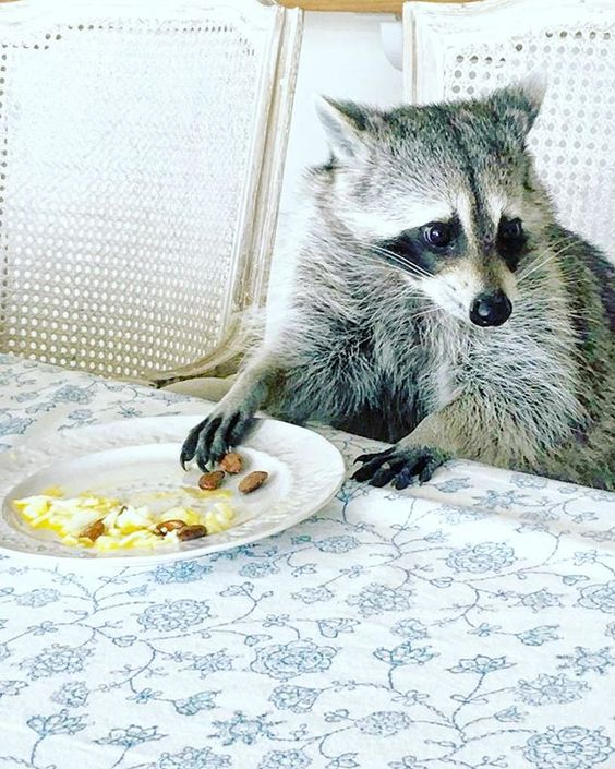 Snack Time! Would you please pass the jelly?❤️ #pumpkintheraccoon #raccoon #love #weeklyfluff #pet #instagram #instalike #igers #photooftheday #snack #bahamas Thanks @sj017 for the photo!