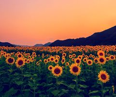 Sunflowers - Bright and happy flowers. i like that