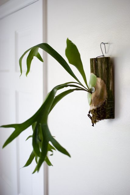 wall mounted staghorn fern                                                                                                                                                                                 More