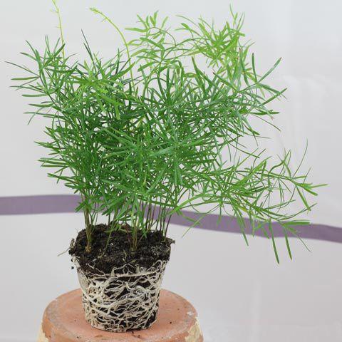 Jenis Jenis Tanaman Asparagus Hias Niadi Net Menanam Tanaman Tanaman Hias Daun