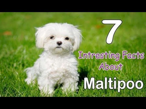 The Maltipoo Is A One Of The Most Popular Cross Breed Or Hybrid