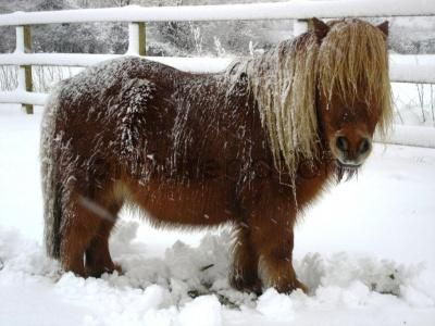 Shetland Pony in the Snow. Reminds me of Prince <3