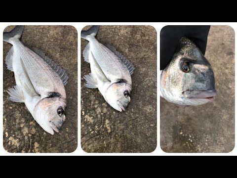 اصطياد سمكة الدوراد او زريقة من الحجم الكبير اللهم بارك Youtube Fish