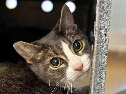 Austin Tx Domestic Mediumhair Meet Noonie A Cat For Adoption Kitten Adoption Cat Adoption Pets