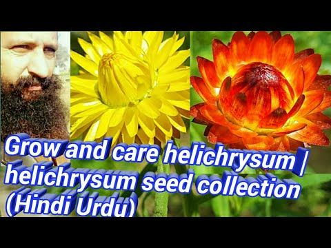 Grow And Care Helichrysum Helichrysum Seed Collection Hindi Urdu Youtube In 2020 Helichrysum Plant Hacks Plant Care