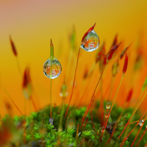 Flowering moss with waterdrops