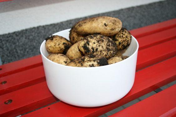 Kartoffelernte | Ländchenlust