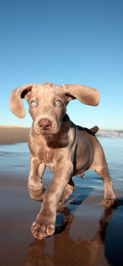 Purebred Weimaraner puppy frolicking on the beach in South Africa • photo: Jonathan Pledger on 500px