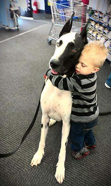 Great Danes as therapy dogs