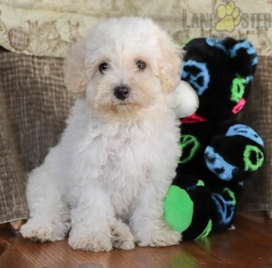 Robin Bichon Frise Puppy For Sale In Wellsboro Pa Lancaster Puppies With Images Bichon Frise Puppy Bichon Puppies For Sale