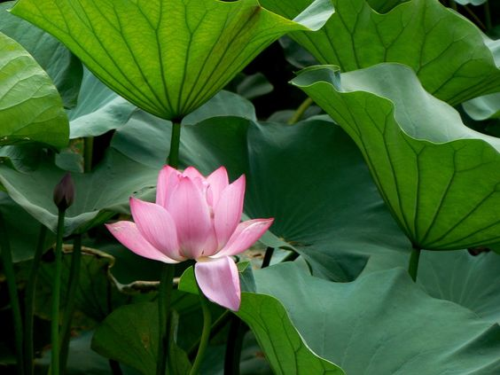 Water Lily by yapock on deviantART