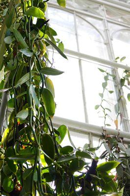 Vaniljan kukkia ja lyijykynäpölytystä - Luomuksen intendentti Maarten Christenhusz valmistautuu vaniljan kukkien pölytykseen teroittamalla huolellisesti lyijykynänsä. Vaniljan pölyttäjinä toimivia Melipona-suvun mehiläisiä esiintyy vain kasvin kotiseuduilla, joten keinotekoinen pölytys oli merkittävä keksintö sadon saamiseksi.