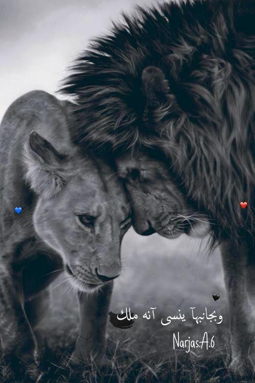 رمزيات اسد ولبوه تصميمي Lion Love Lion Quotes Lion Couple