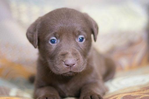 Labrador Retriever Puppy For Sale In Leetonia Oh Adn 68951 On Puppyfinder Com Gender Female Age 6 Weeks Old
