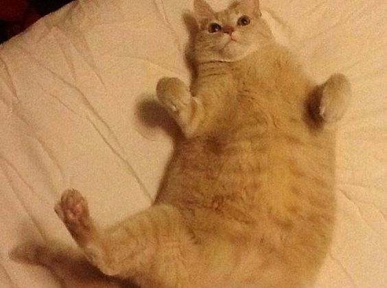 Fat Cat on bed