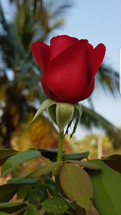 E Importante E A Rosa Beautiful Flowers Wallpapers Beautiful Roses Beautiful Red Roses