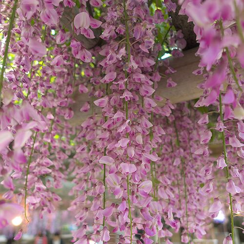 Wisteria How To Grow And Tame The Perennial Flowering Vine Climbing Flowers Climber Plants Climbing Plants Fence